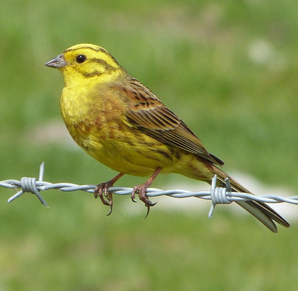 Птицы с желтой грудкой: названия, описание, ареал обитания