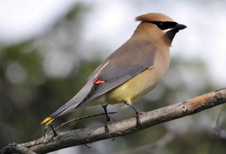 Лесная птица с красным хохолком