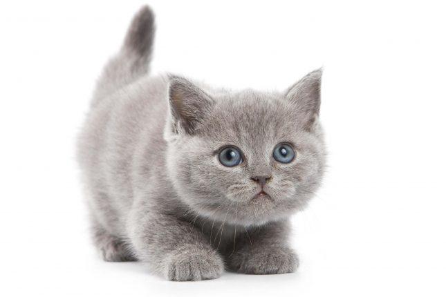Британский серый котенок