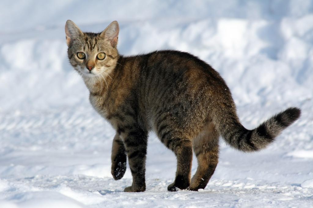 Кошка на снегу.